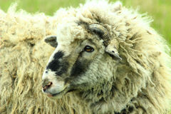 Sheep with thick fleece Royalty Free Stock Photography