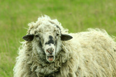 Sheep with thick fleece on the pasture Royalty Free Stock Photography
