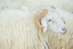 Sheep with thick white hair and curly bushes live in a farm Royalty Free Stock Photos