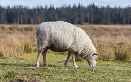Sheep with a thick winter coat Royalty Free Stock Photos