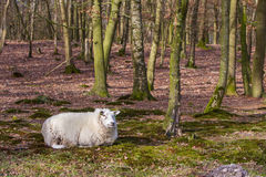 Sheep with a thick winter coat Stock Image