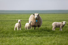 Sheep with three lambs in the field. Looking to the camera Stock Photos