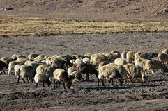 Sheep in Tibet Stock Photography