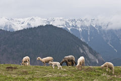 Sheep to pasture Royalty Free Stock Photography