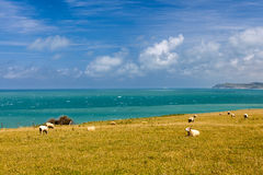 Sheep to the sea in france Royalty Free Stock Photography