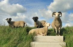 Sheep on top of the dike Royalty Free Stock Photos
