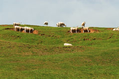 Sheep on top of a hill. A heard of sheep on top of a green hill Royalty Free Stock Photo