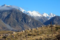 Sheep on top of Mount Sunday with snow on mountains in background, Canterbury, South Island, New Zealand stock photos