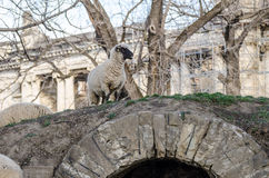 Sheep on top of stone bridge Stock Images