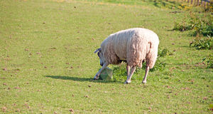 Sheep toy Stock Images