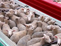 Sheep Track Stock Photos