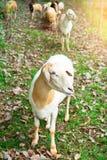 Sheep in a traditional farming ,livestock farm , outdoor.  stock photo