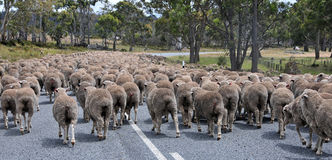 Sheep Traffic in Tasmania Stock Photo