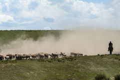 Sheep transfering in Xinjiang. A herd of sheep transfer from winter pasture to summer pasture Royalty Free Stock Image
