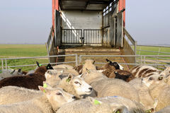 Sheep transport stock photos