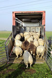 Sheep transport Stock Photo