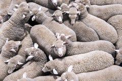 Sheep transportation stock photos