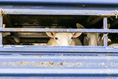Sheep in transportation truck Royalty Free Stock Photography