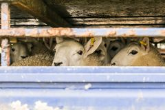 Sheep in transportation truck. England royalty free stock image