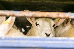 Sheep in transportation truck. England Stock Images