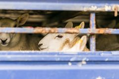 Sheep in transportation truck Royalty Free Stock Image