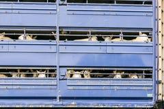 Sheep in transportation truck Royalty Free Stock Photos