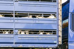 Sheep in transportation truck Royalty Free Stock Photo