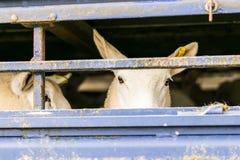 Sheep in transportation truck Stock Photos