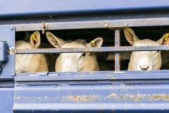 Sheep in transportation truck Stock Photo