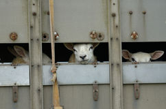 Sheep transporter Royalty Free Stock Image