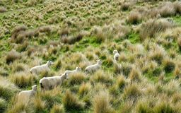 Free Sheep Traveling Among The Bushes On Hillside Of New Zealand Stock Photo - 134662180