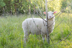 Sheep and tree Royalty Free Stock Images