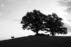 Sheep and trees. Lonely sheep and two trees Royalty Free Stock Photo