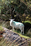 Sheep among trees on rocky hill Royalty Free Stock Photography