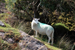 Sheep among trees on rocky hilltop Royalty Free Stock Photography