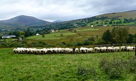 Sheep at the troughs. Flock of Sheep eating at the troughs, County Donegal Stock Photo