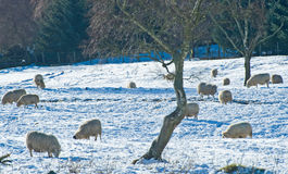 Sheep trying to feed in the snow. Royalty Free Stock Image