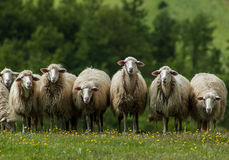 Sheep in Tuscany. A flock of sheep grazes on a green field on May 10, 2007 somewhere in Tuscany, Italy stock photo