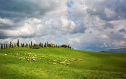 Sheep in Tuscany Stock Images