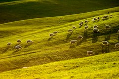 Sheep in Tuscany Royalty Free Stock Photo