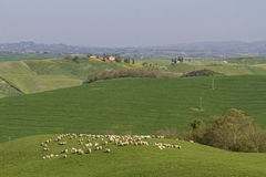 Sheep in Tuscany Royalty Free Stock Image