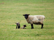 Sheep and twin lambs Royalty Free Stock Photography