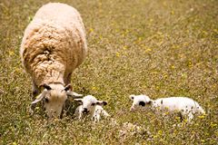 A sheep with two cute little lambs on meadow. A sheep with two cute little lambs on fresh green meadow stock photo