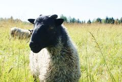 Sheep. Two sheep grazing in a field Royalty Free Stock Images