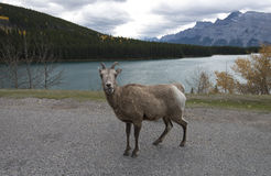Sheep at Two Jack Lake Royalty Free Stock Image
