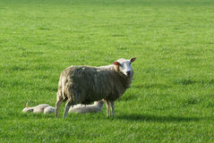 Sheep with two lambs. Stock Images