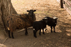 Sheep and two lambs Stock Photos