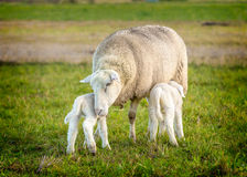 Sheep and two lambs Royalty Free Stock Photos