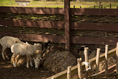 Sheep and two lambs Royalty Free Stock Photography
