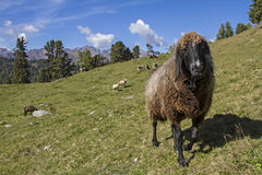 Sheep in Tyrol Stock Photos